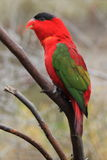 Purple-naped lory Royalty Free Stock Image