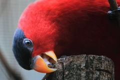 Purple-naped lory. The detail of purple-naped lory Royalty Free Stock Photos