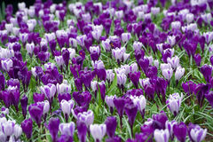 Purple narcissuses growing in Keukenhof, Netherlands Royalty Free Stock Photography