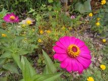 Purple narrowleaf zinnia. stock photo