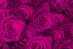 Purple natural roses Royalty Free Stock Photography