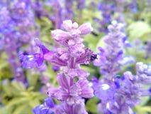 Purple nature. Beautiful blooming lavenders Royalty Free Stock Photos