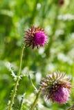 Purple nettle flower Royalty Free Stock Photo