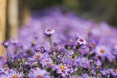 Purple New York aster. Daisy-like flowers with golden centers. Symphyotrichum novi-belgii stock photos