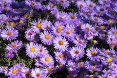 Purple New York aster. Daisy-like flowers with golden centers. Symphyotrichum novi-belgii stock photography