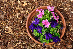 Purple nicotiana flowers and red mulch Stock Photos