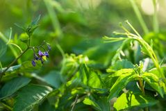Purple Nightshade Flower. A purple flower, in the nightshade family, blooms against vibrant, green foliage stock images