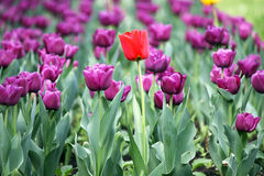 Purple and one red tulip flower. Garden with purple and one red tulip flower Stock Images