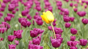 Purple and one yellow tulip flower. Garden with purple and one yellow tulip flower stock video