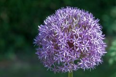 Purple onion blossom in sun royalty free stock photography