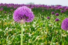 Purple Onion flower Stock Photo