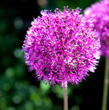 Purple onion flower (allium giganteum). Ornamental garden plant royalty free stock images