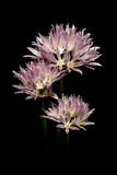 Purple onion flower Stock Photos