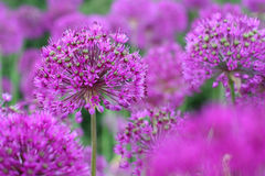 Purple Onion Flowers stock images