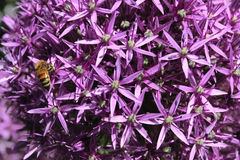 Purple onion flowers background Stock Image