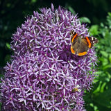 Purple onion flowers with butterfly. Royalty Free Stock Images