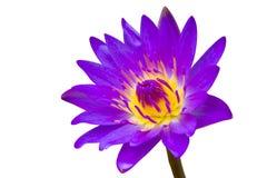 Purple op wit waterlily wordt geïsoleerd dat Royalty-vrije Stock Afbeelding