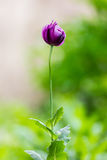 Purple opium poppy, flower Stock Images