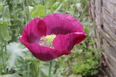 Purple Opium Poppy. A popular onrnamental plant in the family Papaveracaeae but also grown as a crop for its seeds and for pharmaceutical purposes Royalty Free Stock Images