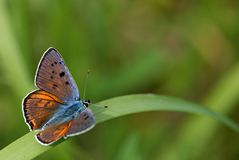 Purple and orange butterfly Stock Image