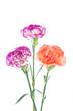 Purple and orange carnation flowers isolated on white background Stock Image