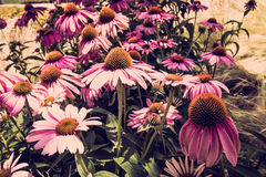 Purple and orange coneflower in Danube City, Vienna royalty free stock images