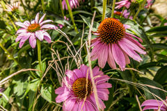 Purple and orange coneflower in Danube City, Vienna stock images
