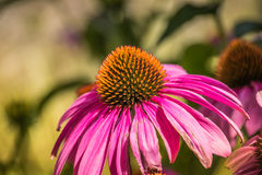 Purple and orange coneflower in Danube City, Vienna royalty free stock photography
