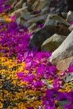 Purple and orange flower lying on pathway Stock Photos