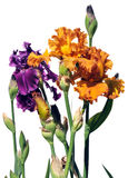 Purple and Orange Iris Flowers Royalty Free Stock Photo
