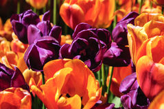 Purple and orange tulips Royalty Free Stock Images