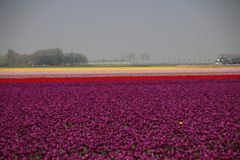 Purple, orange, yellow and pink tulips in sunlight in rows in a. Flower field in Oude-Tonge on the island Goeree Overflakkee in the Netherlands Stock Photography