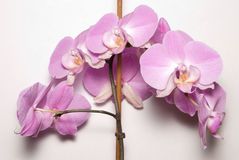 Purple orchid. Tall purple orchid with stick for smooth flower Royalty Free Stock Photography