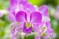 Purple Orchid. Orchid Flowers royalty free stock photos