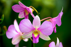 The purple orchid Stock Image