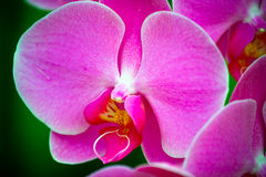 The purple orchid Stock Photography