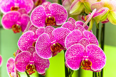 The purple orchid Royalty Free Stock Photo