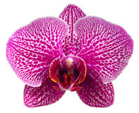 Purple orchid. On white background Stock Image