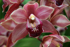Purple orchid. Blooming tropical purple orchid with waterdrops Royalty Free Stock Photo