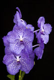 Purple orchid. On black background Stock Images
