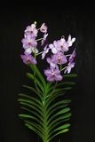 Purple orchid. Isolated on black background Royalty Free Stock Photography