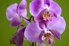 Purple orchid. Pretty small purple orchid on isolated green background Royalty Free Stock Image
