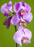 Purple orchid. Pretty small purple orchid on isolated green background Royalty Free Stock Photos