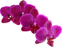 Purple Orchid. Isolated On White Royalty Free Stock Image