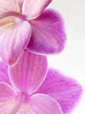 Purple orchid. Close up, isolated on white background Stock Photography