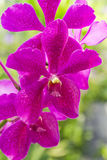 Purple orchid. Vivid Purple orchid on green garden background Royalty Free Stock Images