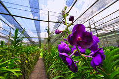 Purple orchid Stock Photography