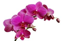 Purple orchid. Isolated on white stock photo