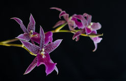 Purple Orchid. Purple leopard spotted orchid blossoms against black background Royalty Free Stock Images