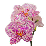 Purple orchid Stock Images